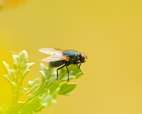 Groene keizersvlieg