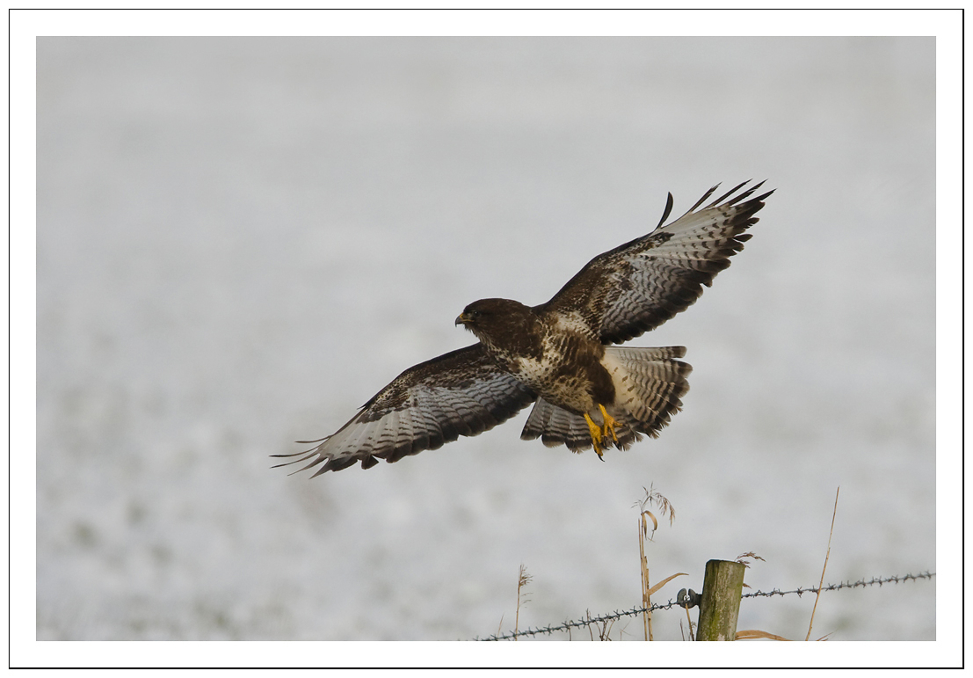 Fly Away - een buizerd die net weg vloog en zijn/haar vlucht heb kunnen fotograferen!  Effies graag in de vergroting bekijken!!!  Iedereen heel erg bedankt  - foto door Anna Rass op 31-01-2010 - deze foto bevat: nature, natuur, vogel, buizerd, dier, roofvogel, anna, roofdier