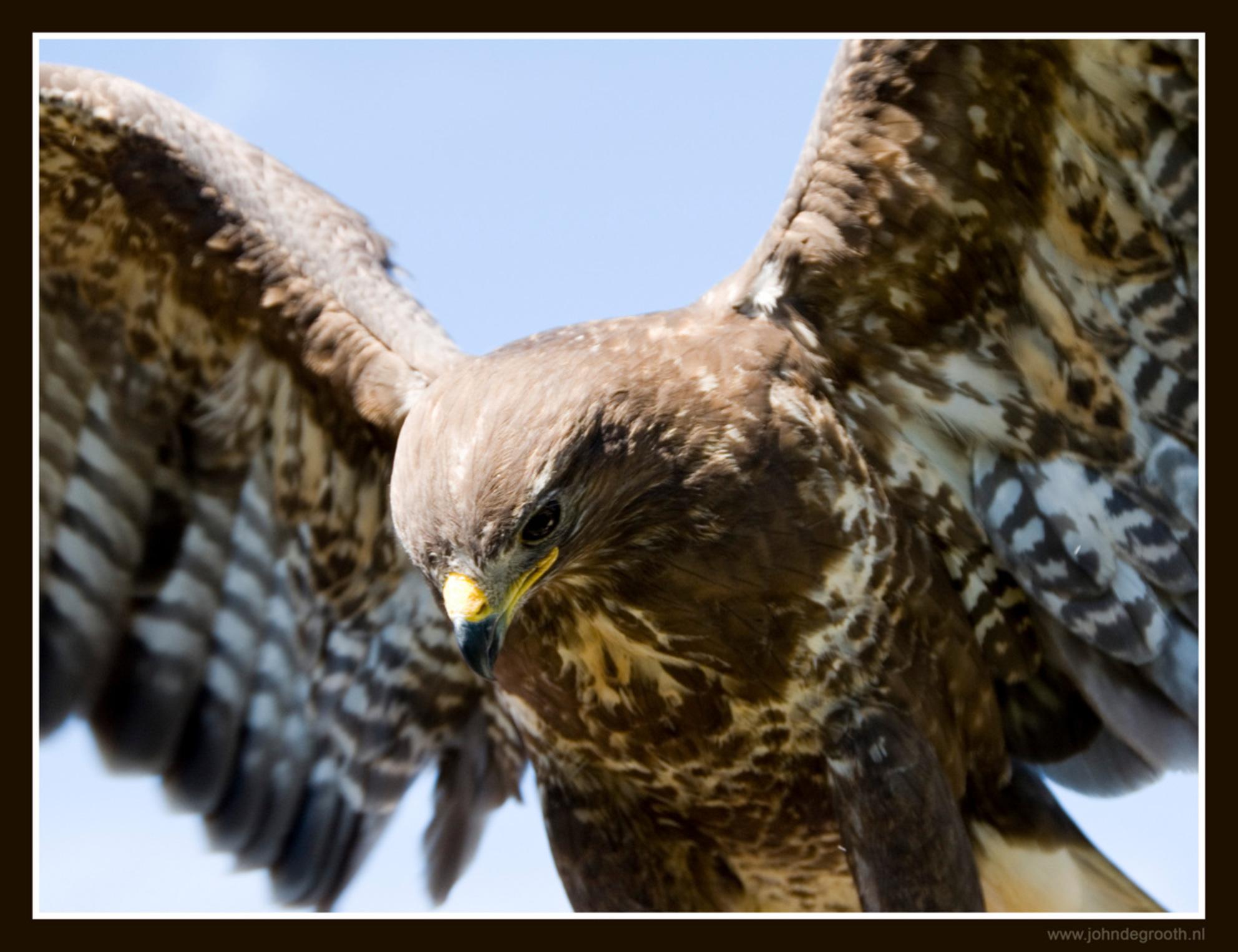 Laagvlieger - Buizerd die net opstijgt. - foto door johndegrooth op 22-06-2009 - deze foto bevat: portret, vogel, buizerd, nikon, d200, John de Grooth - Deze foto mag gebruikt worden in een Zoom.nl publicatie