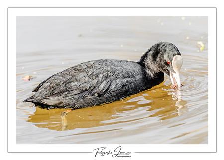 Meerkoet op het water - Deze meerkoet dacht in alles een lekker hapje te zien maar kwam soms bedrogen uit :-) - foto door FotografieJeronimo op 01-04-2020 - deze foto bevat: water, lente, natuur, meerkoet, dieren, vogel, brabant, watervogel, fotografie, roosendaal, Jeronimo