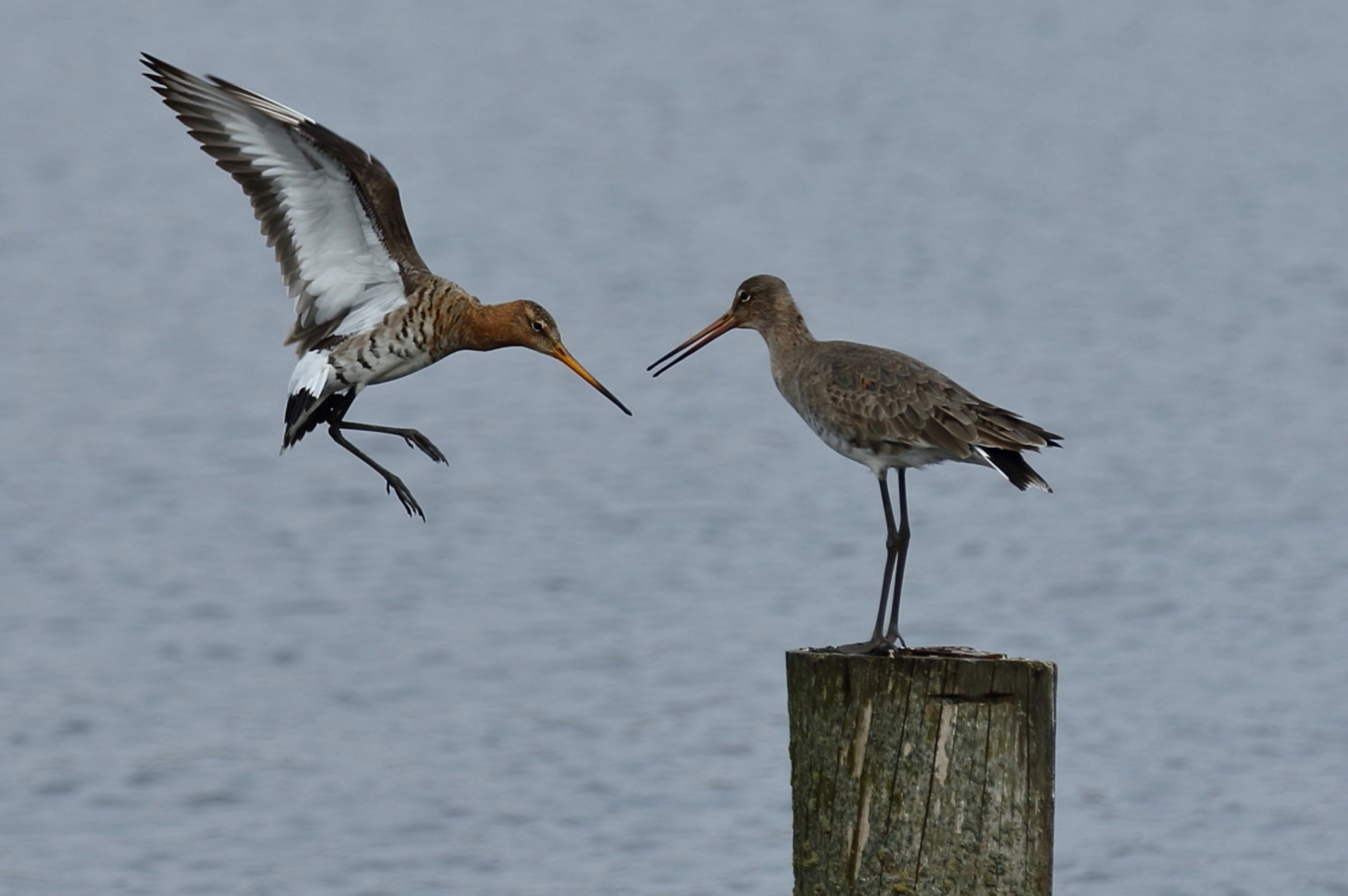 Aan elkaar gewaagd zijn - grutto - foto door AnneliesV op 28-02-2021 - deze foto bevat: water, natuur, dieren, vogel - Deze foto mag gebruikt worden in een Zoom.nl publicatie