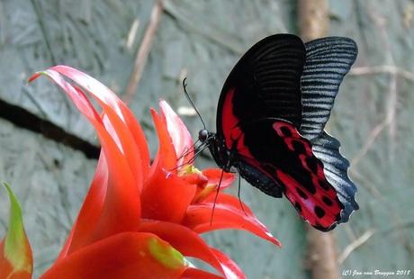 Papilio deiphobus rumanzovia (vrouw)
