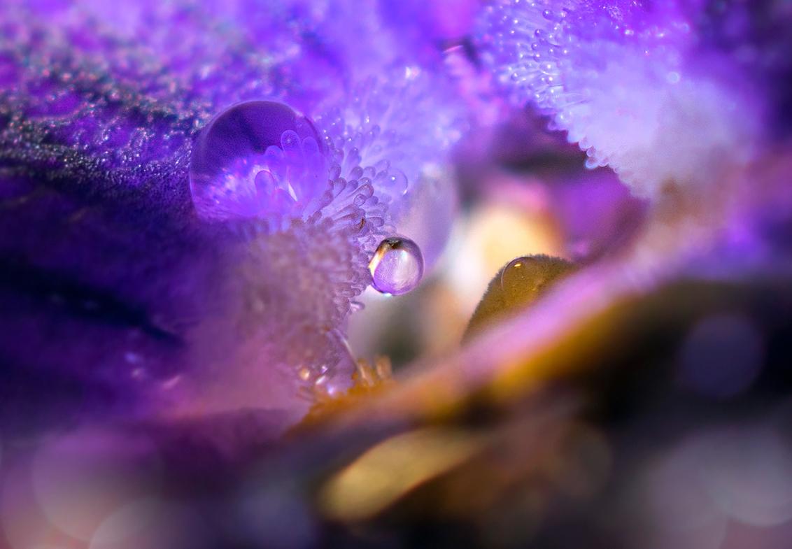 wondere wereld - Een hele andere wereld in het hart van de winter viool.Thanks voor jullie reacties en faves op vorige upload zoomvrienden. Blijf gezond en veilig. - foto door Jodokuscul op 21-10-2020 - deze foto bevat: paars, bloem, druppel, viooltje, dauw, dof, bokeh