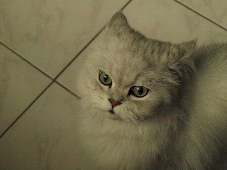 green eyes, a white cat