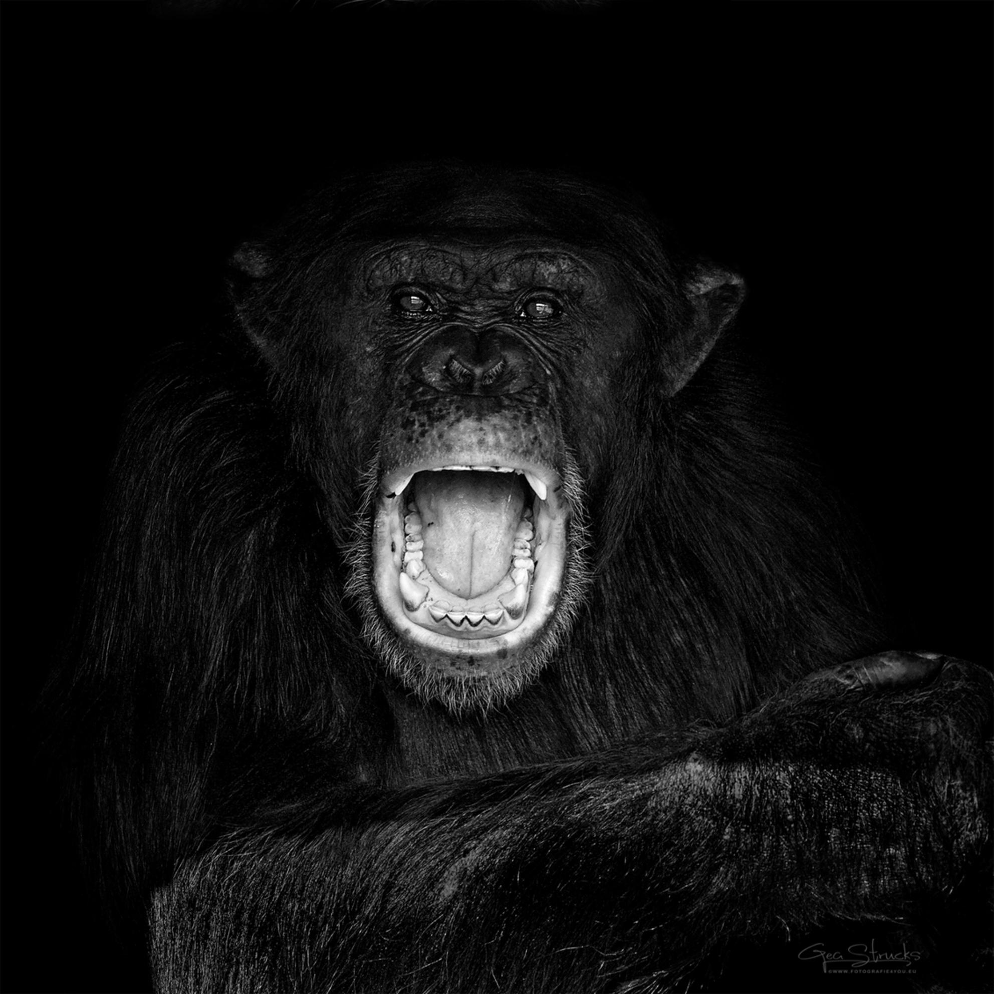 Chimpsceamjpg - Deze chimp was vreselijk aan het schreeuwen. Gewoon uit frustratie denk ik, maar toch mooi voor het plaatje - foto door madcorona op 16-10-2020 - deze foto bevat: aap - Deze foto mag gebruikt worden in een Zoom.nl publicatie