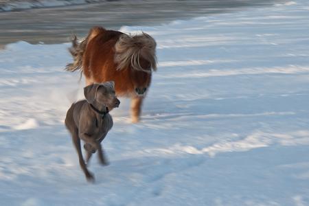 Spelen in de sneeuw - Niet helemaal ragscherp, ik vind meetrekken heel moeilijk. Maar Koos (de pony) en Noortje waren zo leuk aan het spelen met elkaar dat ik het toch op  - foto door MirjamKoot op 05-01-2010 - deze foto bevat: sneeuw, winter, spelen, dieren, hond, pony, mirjamkoot