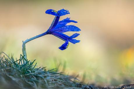 Mini iris met druppels