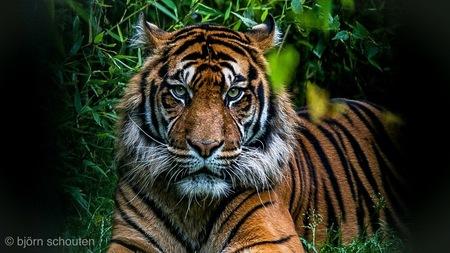 Tijger - - - foto door bjornschouten_zoom op 18-03-2018 - deze foto bevat: dierentuin, natuur, dieren, safari, tijger, afrika, blijdorp