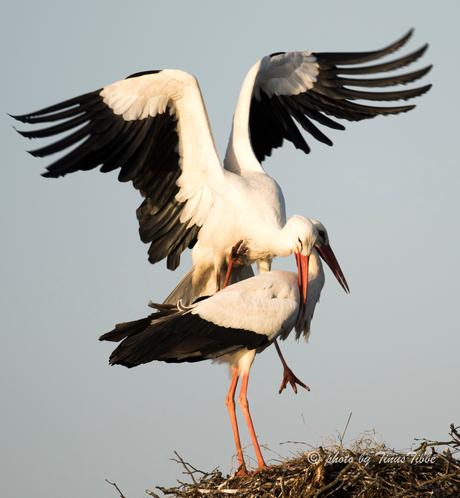 Sex on the nest