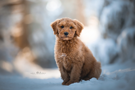 Puppy Harvey