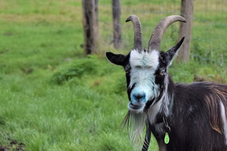 Mekkerende geit
