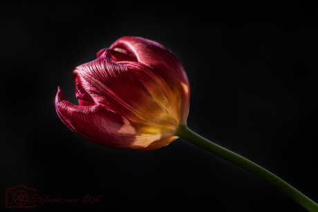 Dark_Tulip