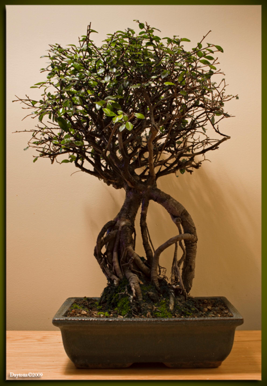 Bonsai 5 - Hier zit niet veel blad meer aan, maar dat is normaal en binnen een paar weken is hij weer mooi groen en kan ik hem weer in vorm snoeien. Ook deze B - foto door Daytona_zoom op 27-03-2009 - deze foto bevat: boom, bladeren, blad, bomen, tak, takjes, blaadjes, boompje, bonsai, daytona, boom-, blad-, bomen-, bladeren-, takken-, bonsai-s, bonsaipot, bonsai-, bonsaischaal, miniboom - Deze foto mag gebruikt worden in een Zoom.nl publicatie