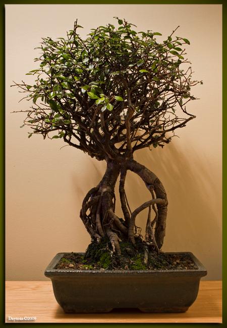 Bonsai 5 - Hier zit niet veel blad meer aan, maar dat is normaal en binnen een paar weken is hij weer mooi groen en kan ik hem weer in vorm snoeien. Ook deze B - foto door Daytona_zoom op 27-03-2009 - deze foto bevat: boom, bladeren, blad, bomen, tak, takjes, blaadjes, boompje, bonsai, daytona, boom-, blad-, bomen-, bladeren-, takken-, bonsai-s, bonsaipot, bonsai-, bonsaischaal, miniboom