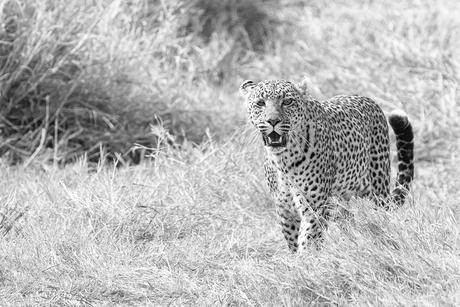 Luipaard in Serengeti NP z/w