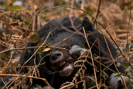 Kraagbeer eet bramenblaadjes!