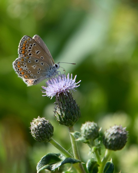 Hollandse vlinderpracht