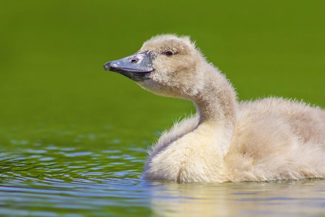 Klein zwaantje - Vandaag een zwanenfamilie gefotografeerd.  Nikon D7100 met een oude Nikon AI-S 300mm f/4.5 - foto door Stephan Jansson op 23-06-2020 - deze foto bevat: water, natuur, zwaan, watervogel