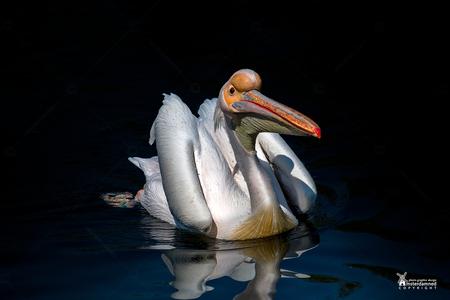 Avifauna - Nu er nog maar weinig plekken zijn om te gaan fotograferen maar eens het archief in gedoken voor een foto van een pelikaan in Avifauna. - foto door amsterdamned_zoom op 14-05-2020 - deze foto bevat: dierentuin, park, pelikaan, watervogel, holland, nederland, avifauna, alphen, vogelpark, amsterdamned, alphen aan den rijn, Zuid Holland