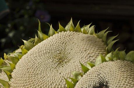 Andere kijk op zonnebloemen