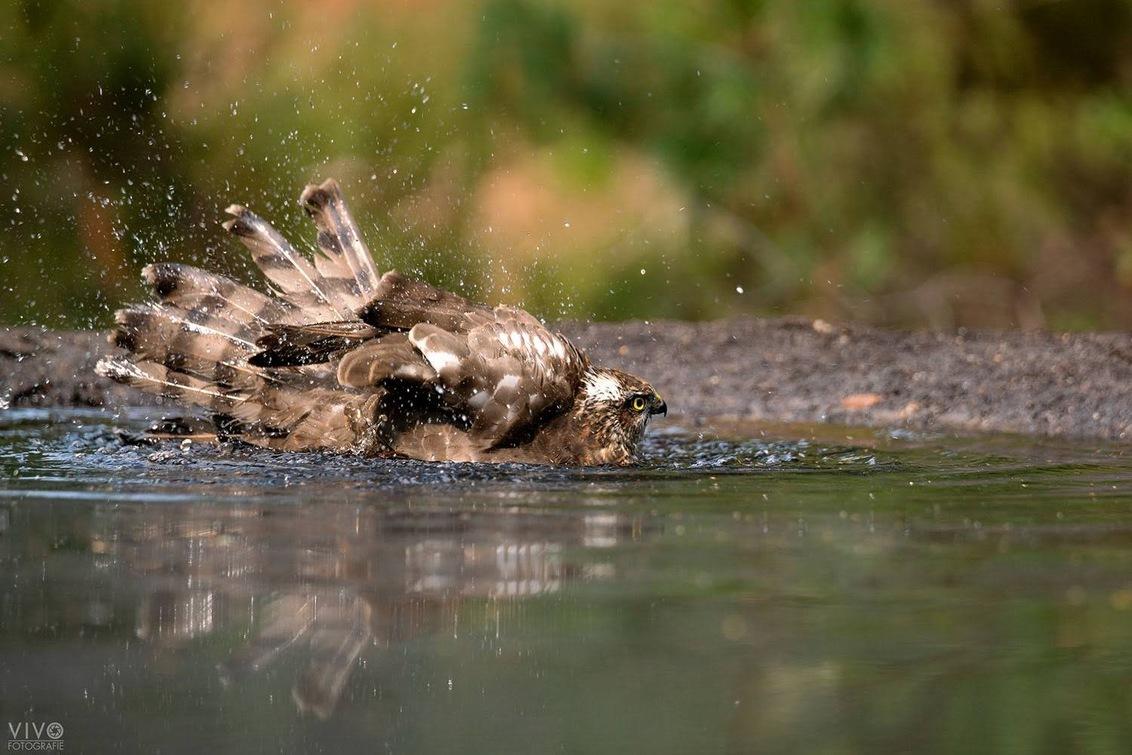 Badderen - Sperwer tijdens het badderen - foto door Vivo op 25-08-2019 - deze foto bevat: natuur, vogel, sperwer, roofvogel, badderen, fotohut