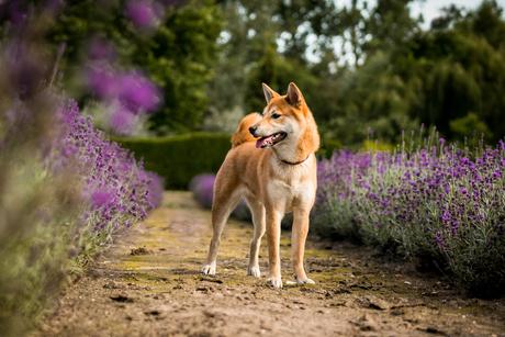 Limit tussen de lavendel