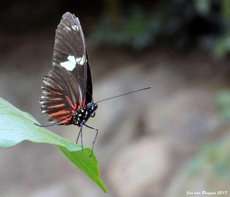 Laparus Doris Viridis.. - Laparus doris, de Doris longwing of Doris, is een vlinder uit de Nymphalidae-familie en slechts lid (d.w.z. monotypisch) van het geslacht Laparus. He - foto door Redfox16 op 08-04-2018 - deze foto bevat: macro, lente, vlinder