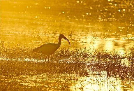 Heilige Ibis in vroege ochtend