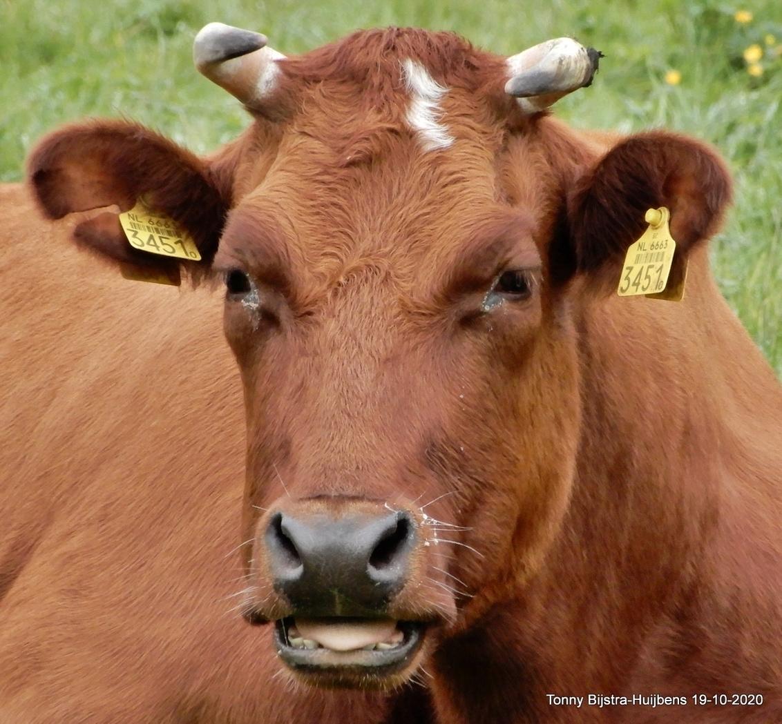 goede morgen - bij het landgoed sandwijck waren enkele runderen te zien, ze lagen bijna allemaal plat op de grond,(foto komt morgen), deze koe hief het hoofd om te  - foto door Tonny1946 op 21-10-2020 - deze foto bevat: herfst, koe, wei, rund, horens, de bilt, oktober 2020, landgoed sandwijck, pink tong, oorlabels
