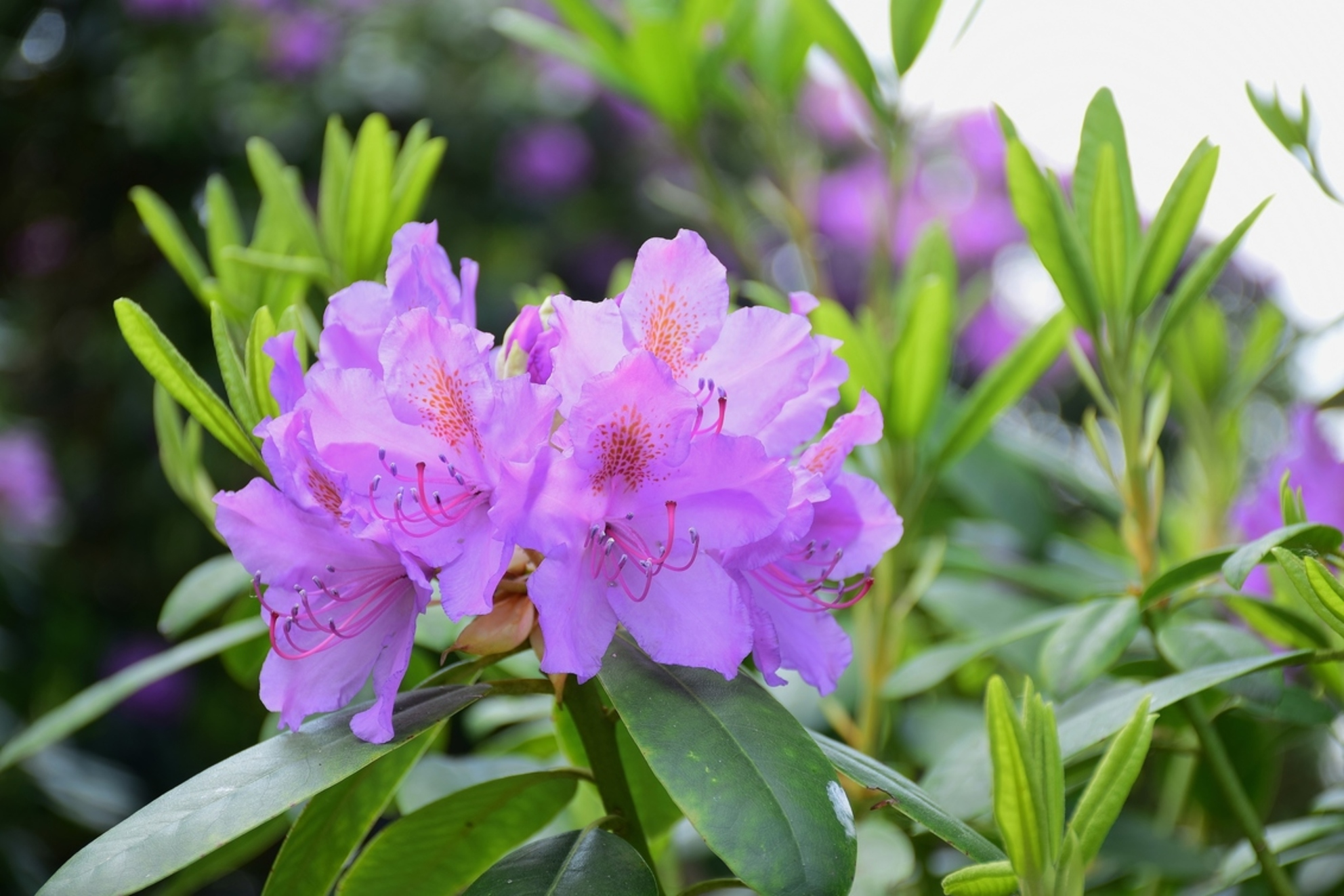Rododendron - Rododendron - foto door 1Herdershond op 26-05-2019 - deze foto bevat: groen, park, tuin, bloemen, planten, struiken, rododendron, lente bloemen