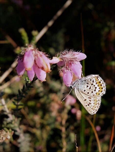 Blauwtje - Het is bar koud en tijd voor iet warms om naar te kijken vind ik.  Allen bedankt en gr jenny.... - foto door jenny42 op 13-12-2017 - deze foto bevat: natuur, vlinder, blauwtje, dieren, hei, bloei.