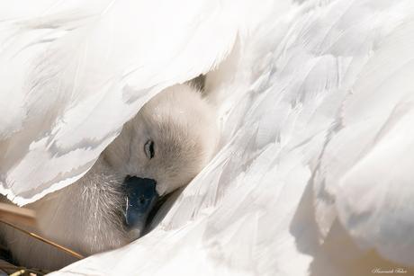 kleine zwaan tussen de veren van moeder Zoom