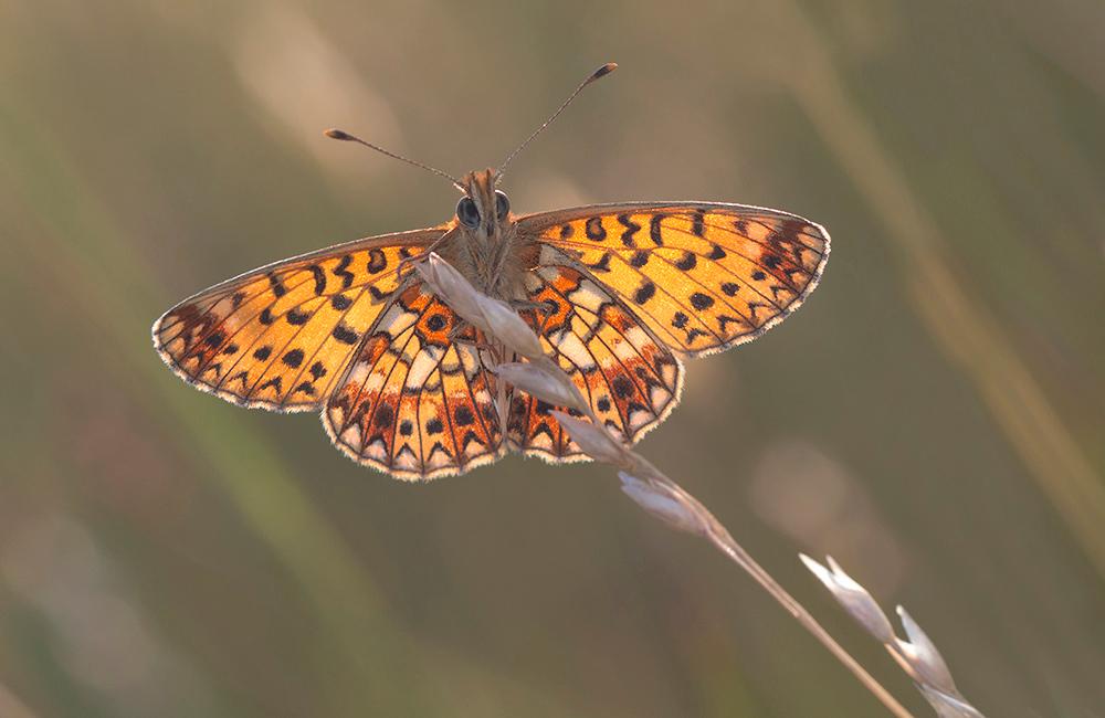 zilverenmaan met tegenlicht - In Overijssel een blauwgrasland veldje bezocht waar deze vlindersoort voorkomt. Deze zilverenmaan is een zeldzame vlinder voor Nederland. Hier probee - foto door RobertWesterhof op 23-07-2018 - deze foto bevat: zilverenmaan, Boloria selene