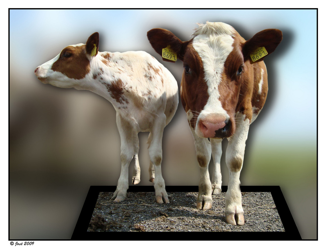 Koeie!! - Momenteel weinig tijd om erop uit te gaan.  Ik heb deze OOB vorige week bij Ali thuis, met haar hulp gemaakt. Ben wel met een nieuwe OOB bezig, als - foto door Jozeeke op 17-02-2009 - deze foto bevat: koeien, dieren, groningen, bewerking, jozeeke