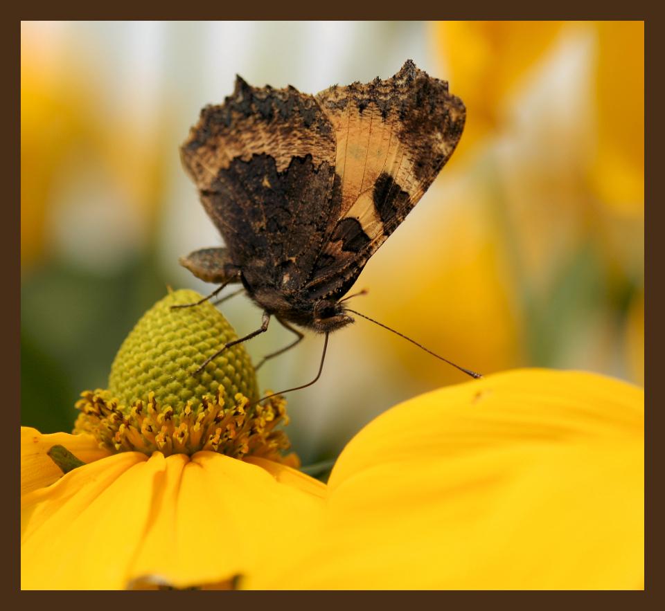 Rapsodie in geel! - Kleine vos op de Rudbeckia. Scherpte had misschien nog ietsjes beter gekund, maar vond het plaatje wel leuk zo. - foto door tjitske_zoom op 29-08-2012 - deze foto bevat: vlinder, geel, rudbeckia, kleine vos