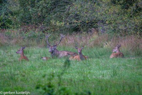 edelhert met zijn roedel rustig in het gras liggend