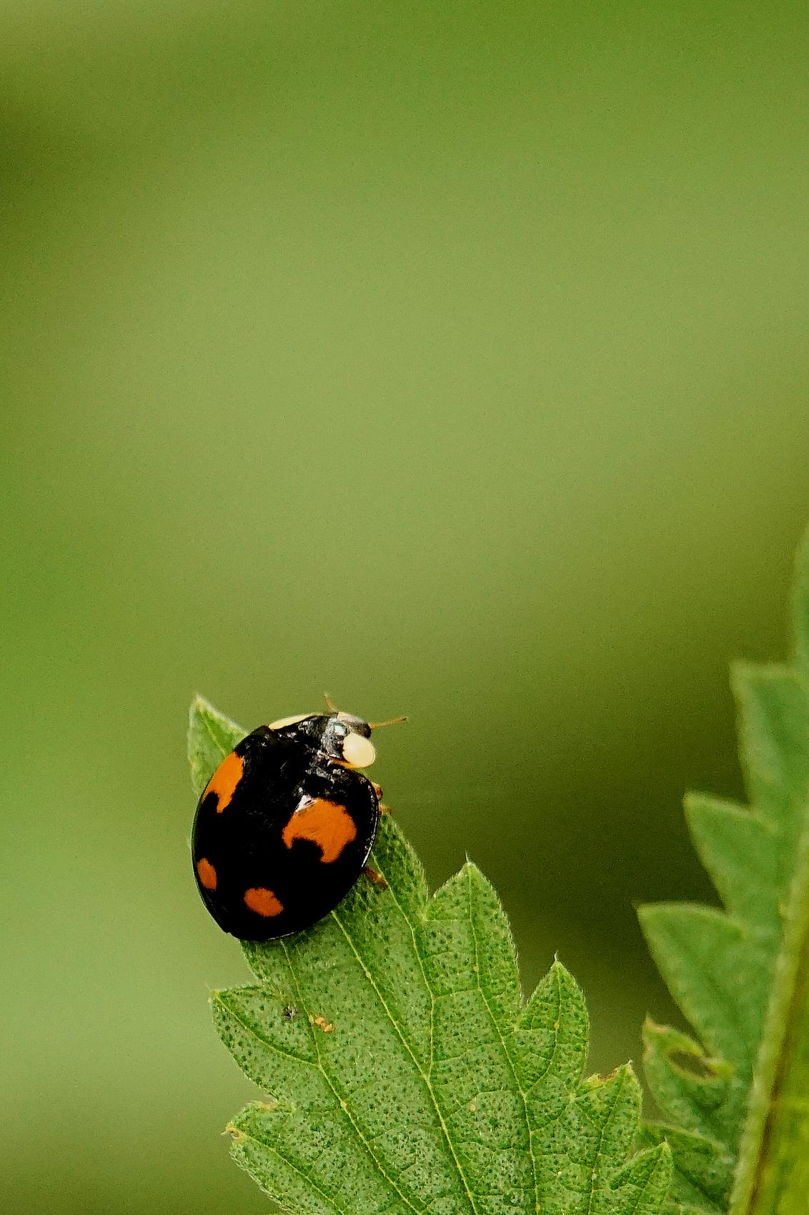 LHB - Alvast bedankt voor jullie reactie's.  Gr, Johannes - foto door cowiefotografie op 06-09-2020 - deze foto bevat: groen, macro, natuur, lieveheersbeestje, oranje, zwart, zomer, dof