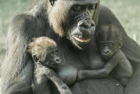 Gorilla tweeling.