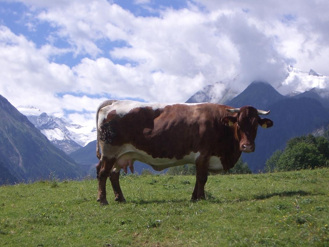 alpenkoe - koe op alpenweide - foto door arnoldvandam op 31-12-2009 - deze foto bevat: koe, alp