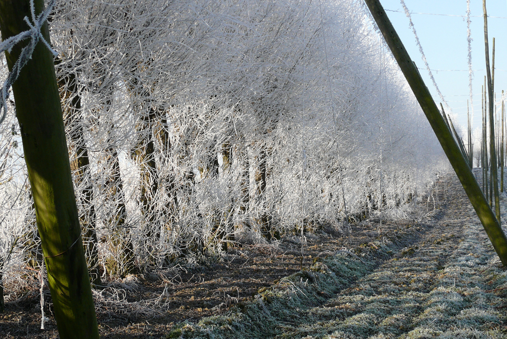 vriesweer en zon op hop - opkomende zon priemt doorheen de beschermende bevroren bomenzoom rondom het kale winterse hoppeveld - foto door jozefh op 09-12-2010 - deze foto bevat: morgenzon, vriesweer, hoppeveld