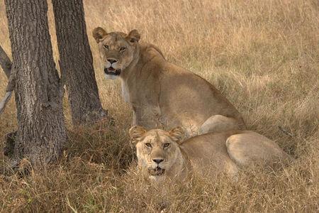 Leeuwen in Serengeti National Park Tanzania - - - foto door wd1956 op 01-07-2019 - deze foto bevat: leeuw, tanzania, serengeti