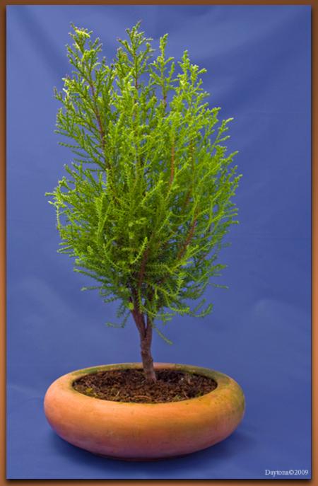 Bonsai 9 - Deze Bonsai moet nog worden overgepot in een beetje nette Bonsaischaal en daarna nog een beetje snoeien. :)  Hij heeft een jaar lang in deze pot ge - foto door Daytona_zoom op 01-04-2009 - deze foto bevat: groen, boom, blad, bomen, takken, tak, boomstam, stam, takjes, bonsai, boompjes, daytona, boom-, bomen-, bonsai-s, bonsaischaal