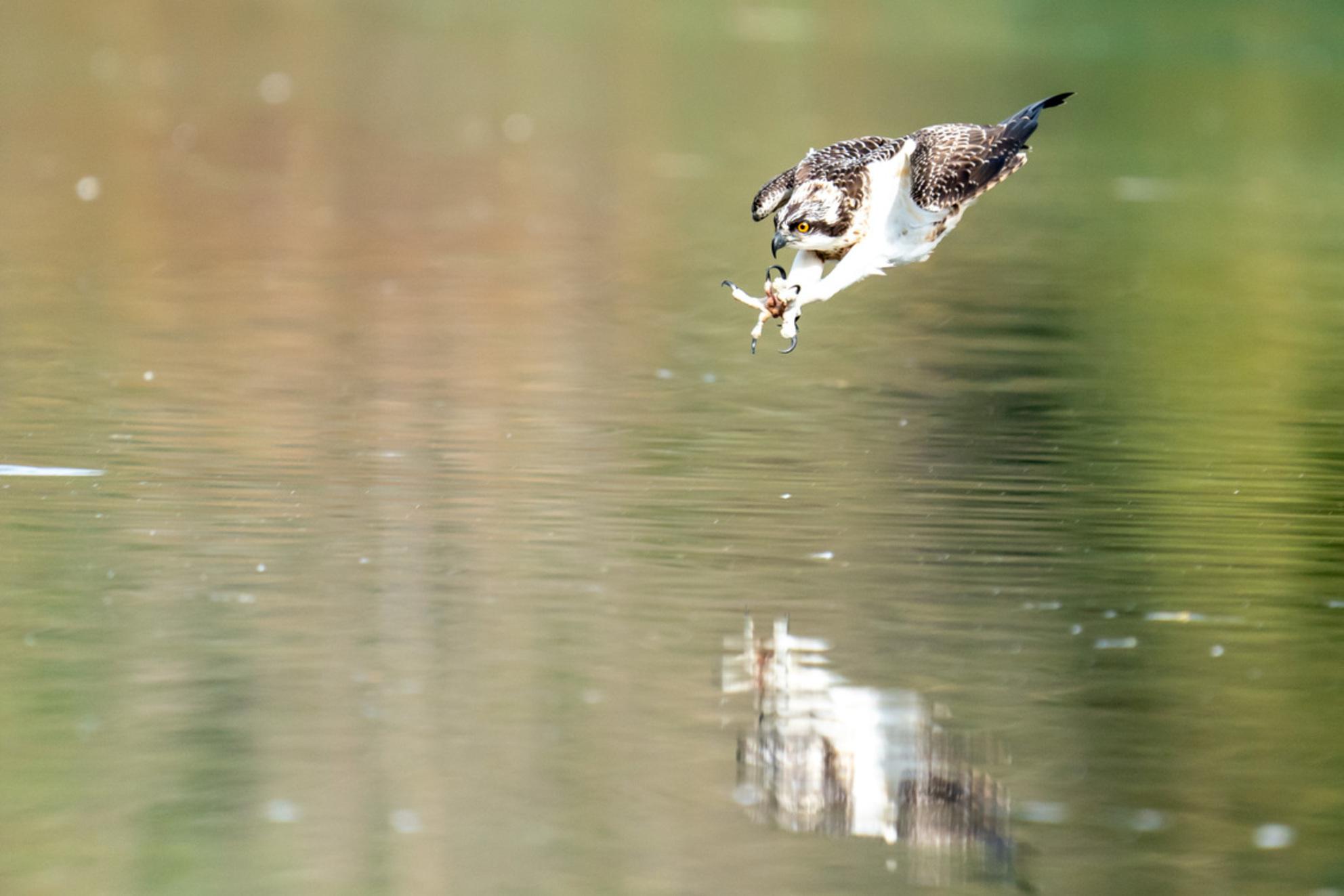 Duikende Visarend - Duikende visarend - foto door Geertjeg op 21-10-2020 - deze foto bevat: natuur, dieren, vis, roofvogel, wildlife, visarend