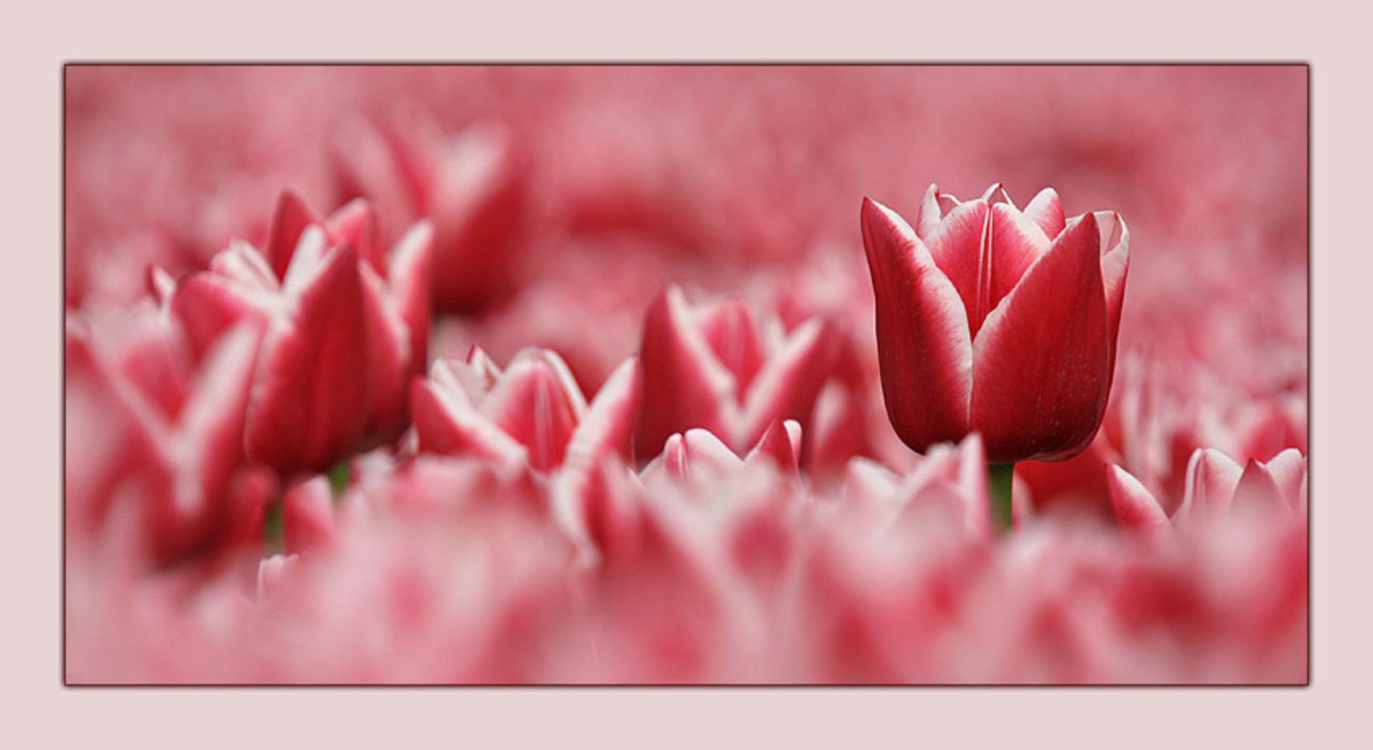 """Voorjaar 5 - Deze tulp stak boven de rest uit. Ik heb geprobeerd om deze eruit te laten """"springen"""";-) - foto door klara op 21-03-2009 - deze foto bevat: tulpen, lente, tulp, bloemen, voorjaar - Deze foto mag gebruikt worden in een Zoom.nl publicatie"""