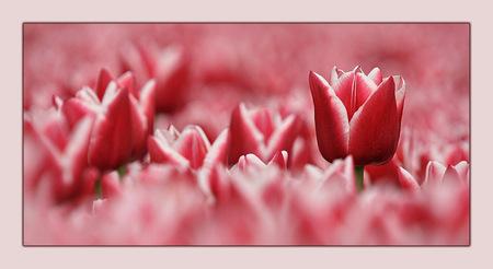 """Voorjaar 5 - Deze tulp stak boven de rest uit. Ik heb geprobeerd om deze eruit te laten """"springen"""";-) - foto door klara op 21-03-2009 - deze foto bevat: tulpen, lente, tulp, bloemen, voorjaar"""