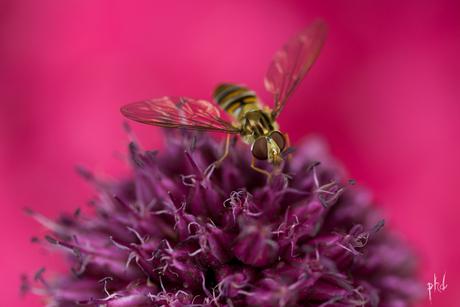 Zweefvlieg, Allium sphaerocephalon, Trommelstokje