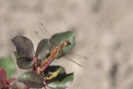 Libelle op rozenknop
