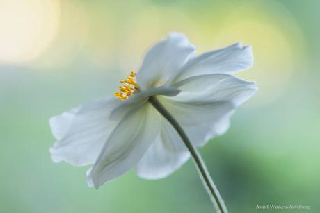 Japanse anemone