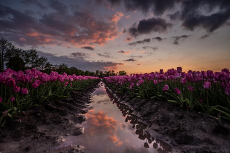 reflectie en tulpen