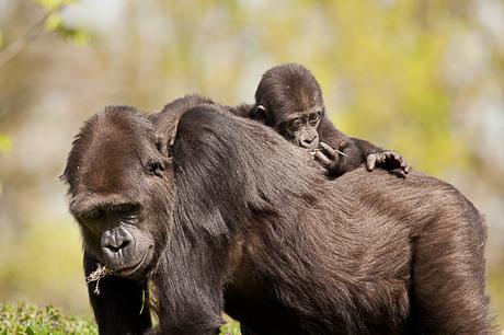 Gorila met jong